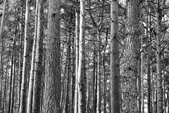 Brownsea Island ( Explored 04/05/19 ) (James Mans) Tags: nikon d5500 uk england countryside dorset brownsea island trees woods bw blackandwhite monochrome