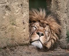 Wake Me Up When It's Over (Nigel Jones QGPP) Tags: lion sleep bored thelionsleepstonight