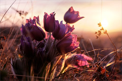 Ветренница (Pulsatilla patens) (Kirill & K) Tags: spring morning sunrise light sunlight flowers pulsatilla patens southernural mountain nature gadelsha весна утро восход дикие цветы ветренница сонтрава свет солнце природа южныйурал сибай гадельша