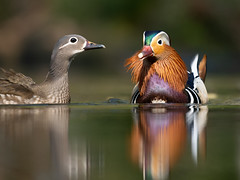 A happy pair (Susanne Leyh) Tags: mandarinduck mandarinente ducks duck water waterfowl pond lake animals wildlife nature natur naturephotography outside outdoors aixgalericulata fauna spring springtime mandarinducks nikon nikkor 300mm reflection