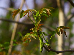 Весенний орешник / Spring walnut tree (Владимир-61) Tags: весна апрель природа роща дерево оршник зеленый цветение листва ветка spring april nature grove tree walnut green blossom foliage branch sprout sony ilca68 minolta75300 natureinfocusgroup