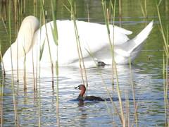 Little Grebe & Mute Swan (blue33hibiscus) Tags: bird littlegrebe muteswan waterfowl hamwall naturereserve somerset