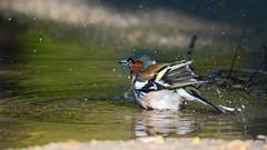 Купающийся зяблик (Yuriy Kuzmenok) Tags: птицы птица природа зяблик