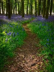 Enticing (thriddle) Tags: badburyclump oxfordshire bluebells woodland xtransformer