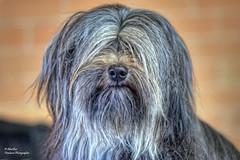 Wookiee (Tibetan Terrier) (Abariltur) Tags: abariltur castellón spain nikond90 afsvrmicronikkor105mmf28gifed perros dogs wookiee chewbacca tibetanterrier inmemoriampetermayhew starwars onda castellódelaplana