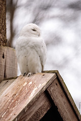 IMG_6350 (TvdMost) Tags: buboscandiacus ouwehandsdierenpark owl snowyowl bubo sneeuwuil