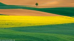 Field_9287 (Lothar Heller) Tags: lotharheller baum deutschland feld field germany green tree yellow raps