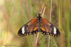 IMG_0704 Acraea serena ♀ (Raiwen) Tags: nymphalidae heliconiinae butterflies moyenneguinée guinea westafrica africa savanna greenland acraea acraeaserena telchiniaserena acraeaeponina