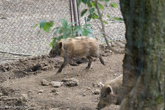 20190504-0033 (M.Pigmyowl) Tags: boar イノシシ 井の頭自然文化園