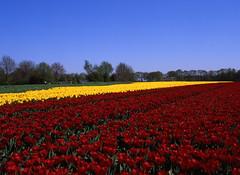 Primary colours (Ernst-Jan de Vries) Tags: tulips tulip tulpen tulp rood geel red yellow primarycolours agriculture landbouw bollenteelt landschap landscap fuji fujifilm velvia50 velvia rvp50 fujichrome dia slide reversal 120 645 mediumformat middenformaat mittelformat analoog analog analogue