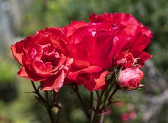 Le ti'kan, Reunion / Кафе Тикан, Реюньон (dmilokt) Tags: природа nature пейзаж landscape кафе cafe dmilokt цветок роза flower rose
