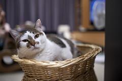 A9__DSC0029_C1 (Bazoka+Cynthia) Tags: cat 塞奈 小婆 新北市 樹林區 貓