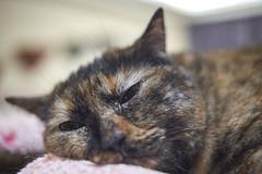 A9__DSC0012_C1 (Bazoka+Cynthia) Tags: cat hani 小婆 新北市 樹林區 貓