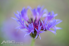 Cornflower (Anna Curnow) Tags: flowers flower softfocus macro blue petal petals pastel garden
