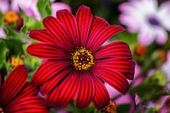 Margherita africana - African Daisy (Eugenio GV Costa) Tags: approvato margherita daisy fiore fiori macro flower flowers wildflower