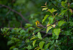 Prairie warbler (nikunj.m.patel) Tags: warbler nature wild wildlife migration spring photography birds bird nikon prairiewarbler