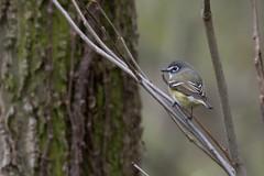 5966 (Eric Wengert Photography) Tags: vireo vireosolitarius bird blueheadedvireo passerine songbird
