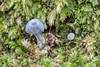 190504 124300 (Vibeke Friis) Tags: auroa19 fungi pelorusbridge rebeccabowaterfollowingentolomacanoconicum raivalley marlboroughregion newzealand rebecca bowater following entoloma canoconicum