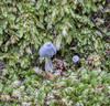 190504 124216 (Vibeke Friis) Tags: auroa19 fungi pelorusbridge rebeccabowaterfollowingentolomacanoconicum raivalley marlboroughregion newzealand rebecca bowater following entoloma canoconicum
