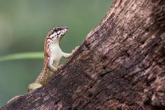 Leiocephalus personatus (juan.sangiovanni) Tags: leiocephalidae leiocephalus lagarto enmascarado cola rizada hispaniolan masked curly tailed lizard