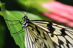 paper kite, quatre (oldogs) Tags: butterfly insect bug macro nature proboscis paperkite