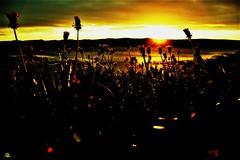 Fíflar (arnthorr) Tags: fíflar arnthor arnþór arnþórragnarsson ragnarsson sumar sun middleofaicelandicsummernight summernight night iceland islande blóm flower sólsetur sunset
