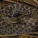 Prairie Massasauga Rattlesnake (Sistrurus tergeminus tergeminus)
