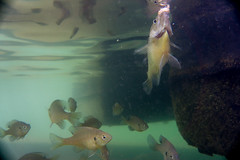 The brave one gets the bread (agasfer) Tags: 2019 southcarolina devilsforkstatepark lake jocassee sony a6000 sonye3556pz1650oss underwater fish bluegills