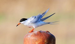 Forster's tern at Cardinal Marsh IA 653A5906 (naturalist@winneshiekwild.com) Tags: forsters tern cardinal marsh winneshiek county iowa larry reis