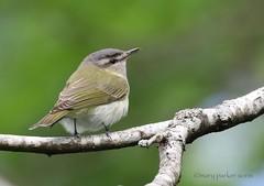Red-eyed Vireo (Mary Sonis) Tags: