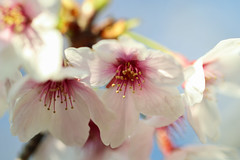 cherry blossoms (Christine_S.) Tags: flowers blossoms blossom spring japan canon m5 ef100mm mirrorless nature tree garden outdoor closeup macro bokeh flower eos ngc npc