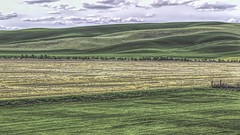 Rolling Hills (Mr.LeeCP) Tags: hills washington green yellow agriculture