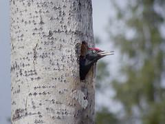 Palokärjen pesä (Jorma_M) Tags: palokärki blackwoodpecker