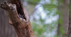 Snoozing Screech owl (markfesh) Tags: owl screech boardwalk marsh magee ohio lucas county tree sleeping nesting