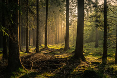 forest series #338 (Stefan A. Schmidt) Tags: forest sunbeam sunray golden green tree trees germany smcpentaxfa43mmf19limited pentaxart