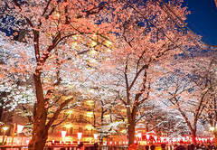 bewitching Meguro River (sapphire_rouge) Tags: 桜 夜桜 東京 sakura cherryblossom cherry nightcherryblossom hanami illumination 花見 ngc