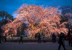 delightful Rikugien (sapphire_rouge) Tags: 桜 夜桜 東京 cherryblossom cherry nightcherryblossom hanami illumination 花見 ngc