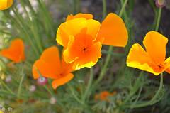 "Lumineuse ! (Brigitte .. . ""Tatie Clic"") Tags: 2019042025 avril printemps lotetgaronne aquitaine francesudouest fleur vert sansretouche fleurorange pavotdecalifornie verdure eschscholziacalifornica macro flou herbe fleurdujardin lcob fabuleuse"