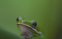 Tree-frog close-up. (agnish.dey) Tags: frog green bokeh wildlife closeup animalplanet d500 naturallight nature naturephotograph nikon naturethroughthelens florida coth