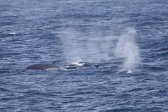 Fin Whales (balaenoptera physalis) coming to the surface (Paul Cottis) Tags: fin cetacean whale marine mammal southgeorgia southatlantic ocean paulcottis 24 january 2019 jan swim swimming