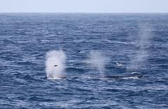 Fin Whales (balaenoptera physalis) blowing at the surface (Paul Cottis) Tags: fin cetacean whale marine mammal southgeorgia southatlantic ocean paulcottis 24 january 2019 jan swim swimming