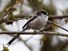 Long Tailed Tit (doranstacey) Tags: nature wildlife birds longtailedtit long tailed tit tits sherwood forest woodland rspb cute tamron 150600mm nikon d5300