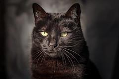 Pepe (Pepenera) Tags: cat cats gatto gato gatti black blackbeauty blackcat