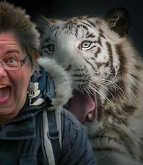 20180329_03176-Bearbeitet.jpg (markus.eymann@hotmail.ch) Tags: säugetier grau ungesättigt tier raubtier composing tiger raubkatze schlosholtestukenbrock nordrheinwestfalen deutschland katalog