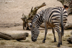 Zebra (R.O. - Fotografie) Tags: zebra tierpark bad pyrmont rofotografie outdoor fressen panasonic lumix dmcgx8 dmc gx8 gx 8 olympus mzuiko premium 60mm f28 macro tier animal