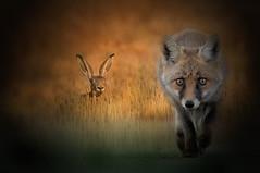 Ho una fame che non ci...vedo (Zz manipulation) Tags: art ambrosioni zzmanipulation natura fame fox volpe lepre campagna