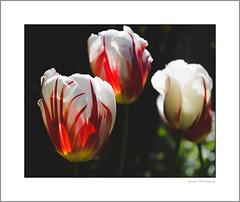 Backlit tulips (G. Postlethwaite esq.) Tags: dof derby macro unlimitedphotos backlit bokeh closeup contraluz contrejour depthoffield flower garden photoborder selectivefocus tulip