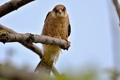 AL6I5767 (chavko) Tags: flickr jozefchavko bird hawk falco vespertinus redfooted falcon slovakia sky wildlife sokol kobcovitý červenonohý