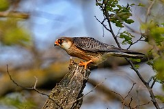 AL6I5745 (chavko) Tags: flickr jozefchavko bird hawk falco vespertinus redfooted falcon slovakia sky wildlife sokol kobcovitý červenonohý