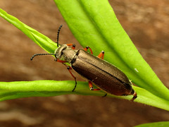 blister beetle - definition and meaning